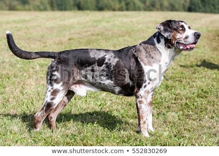 Louisiana Catahoula Leopard dog Stock photo © eriklam