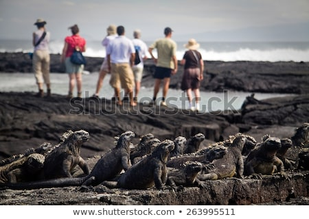 Galapagos marine iguanas on volcanic rock of Fernandina island, Galapagos Stock photo © Maridav