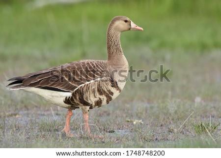 White fronted Goose Stock photo © devon