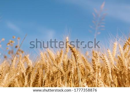 nyár · vidék · búzamező · domb · nyáridő · fű - stock fotó © icefront