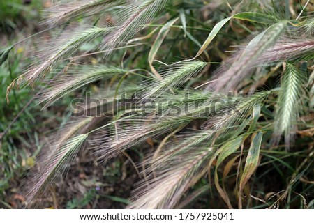 Closeup of grass spikes in Spring Stock photo © AlessandroZocc