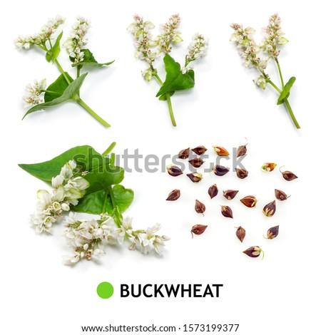 Buckwheat isolated Stock photo © Givaga