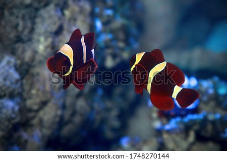 Two clownfish swimming in ocean Stock photo © colematt