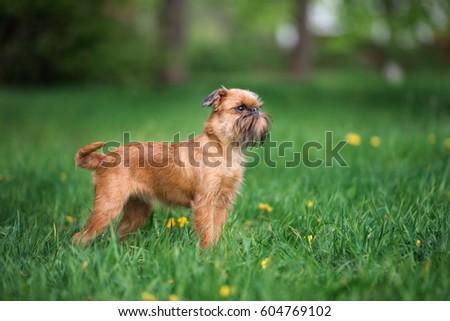 Portrait of an adorable Griffon Bruxellois Stock photo © vauvau