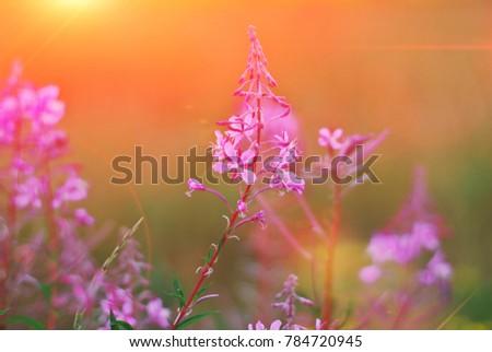 素晴らしい バラ 花 日没 フローラル ストックフォト © Anneleven