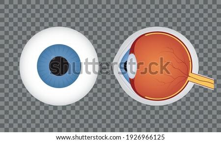 Vein set, Human vessel, eye veins vector Stock photo © Andrei_