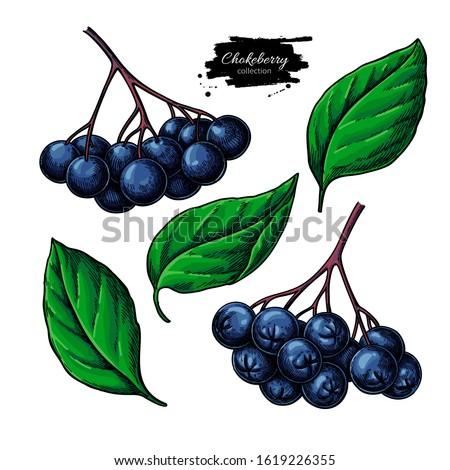 chokeberries tree Stock photo © jonnysek
