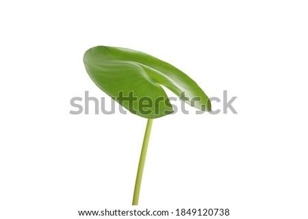 Verde lírio isolado branco bom papel de parede Foto stock © artfotodima