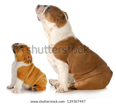 adorable white english bulldog sits and looks up to side Stock photo © feedough