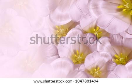 Pembe taze lale lâle çiçekler Stok fotoğraf © neirfy