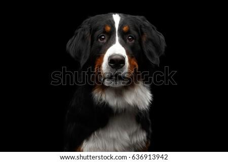 black dog portrait in the white studio stock photo © vauvau