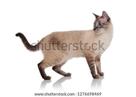 side view of grey burmese cat standing and looking behind Stock photo © feedough