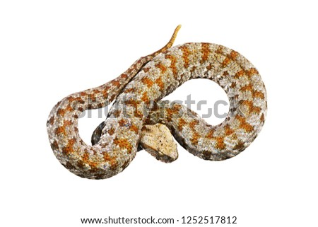 isolated blunt nosed adder Stock photo © taviphoto