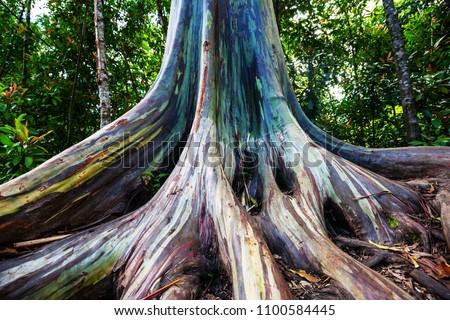 Detail of colorful bark of Rainbow Eucalyptus tree Stock photo © backyardproductions