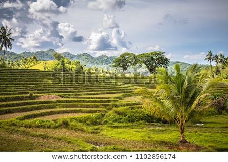 Vista arroz Filipinas árbol alimentos luz Foto stock © galitskaya