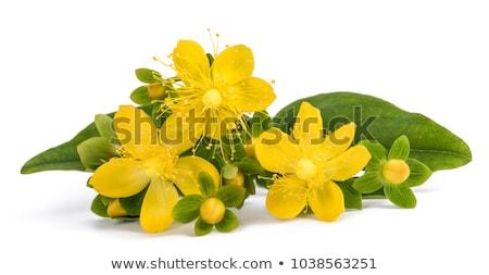 Flor branco isolado erva daninha planta amarelo Foto stock © erierika