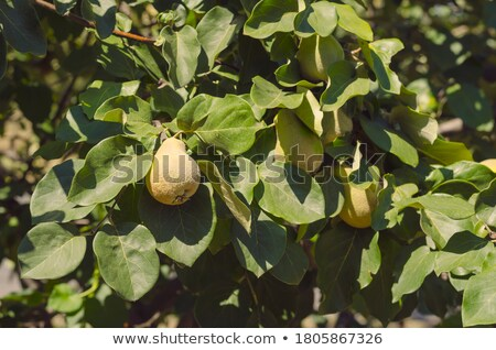 груши изолированный белый продовольствие природы плодов Сток-фото © adamr