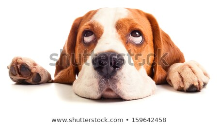 Beagle in front of white background stock photo © feedough
