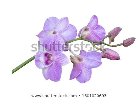wild orchid Stock photo © cynoclub