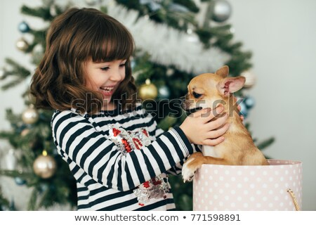 Chihuahua Getting A Gift For Christmas Stock photo © stuartmiles