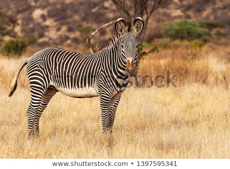Grevy's zebra (Equus grevyi) Stock photo © ajlber