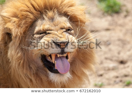Funny lion Stock photo © perysty