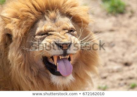 Funny león carácter pequeño Cartoon estilo Foto stock © perysty