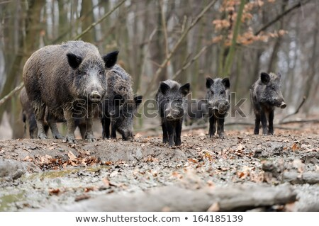 wild pig in forest Stock photo © smithore