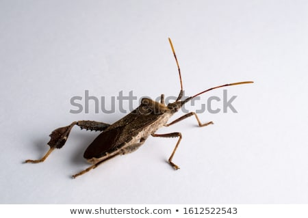 brown leaf footed bug stock photo © prill