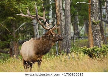 Male Elk in the MIst of Yellowstone Stock photo © emattil