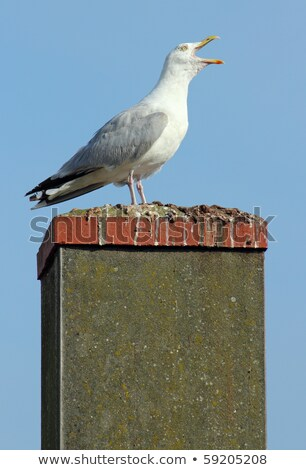 Noisy seagull with its beak wide open on a chimney. Stock photo © latent