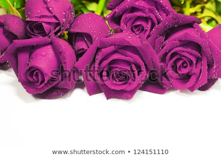 Purple roses, isolated on white background. Very shallow DOF. Stock photo © moses