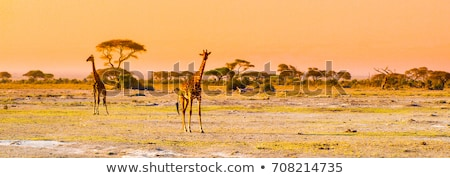 Giraffe on savanna. Safari in Amboseli, Kenya, Africa Stock photo © photocreo
