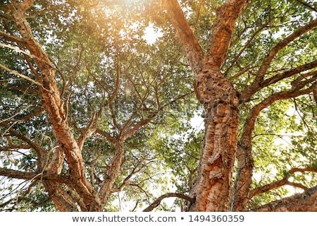korka · dąb · drzewo · drewna · oddziału · kory - zdjęcia stock © haraldmuc