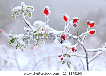 icy branches stock photo © fotovika