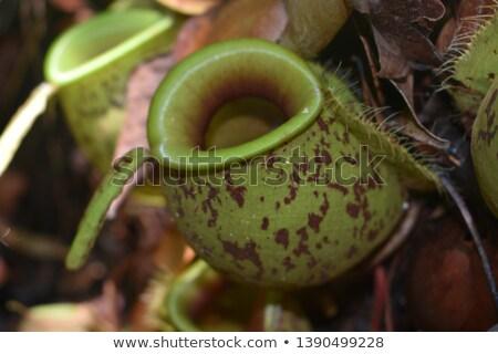 nepenthes ampullaria Stock photo © anan