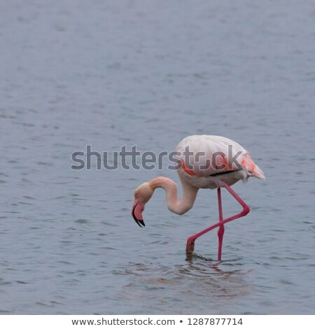 flamingo drinking water 1 stock photo © bradleyvdw