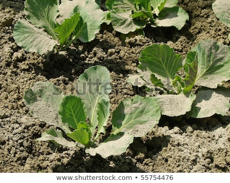 Young cabbage sprinkled ashes Stock photo © Makse