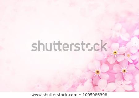 Pink myosotis spring background Stock photo © vavlt