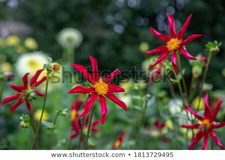 Mooie Rood bloei dahlia bloem natuur Stockfoto © chrisga