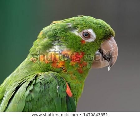 Mitred Parakeet (Psittacara mitrata) Stock photo © dirkr