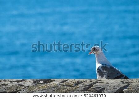 Sirály kőfal tenger természet nyár madár Stock fotó © marekusz