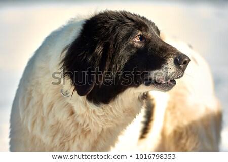 Izolált portré román juhász kutyakölyök aranyos Stock fotó © taviphoto