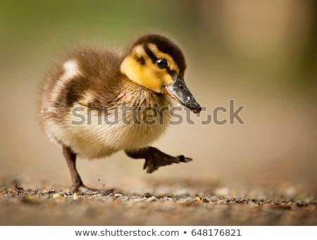 sevimli · bebek · ördek · hayat · altın · komik - stok fotoğraf © leventegyori