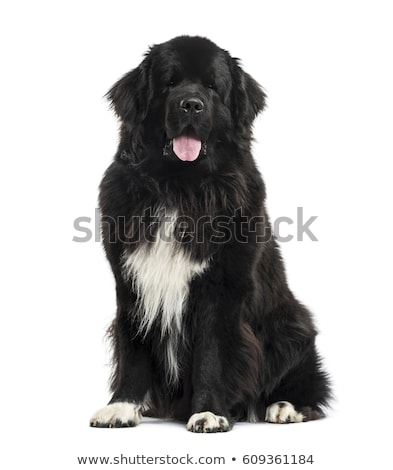 black and white newfoundland dog Stock photo © cynoclub