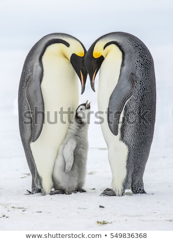 Emperor Penguin Stock photo © bluering