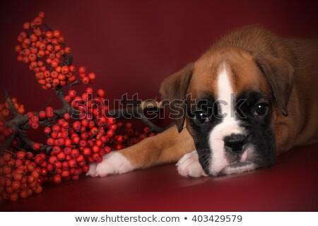 kutyakölyök · boxoló · játszik · labda · izolált · fehér - stock fotó © goroshnikova