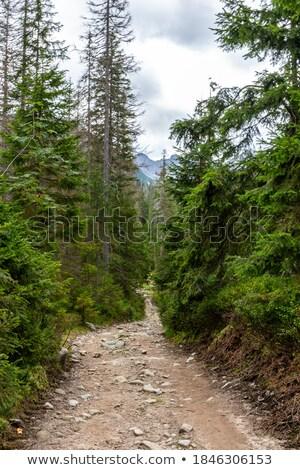 narrow footpath through pine tree forest stock photo © stevanovicigor