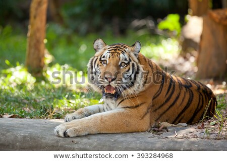 A tiger under the tree Stock photo © bluering