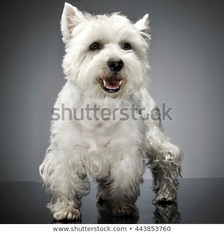 west highland white terrier standig in a studio table stock photo © vauvau